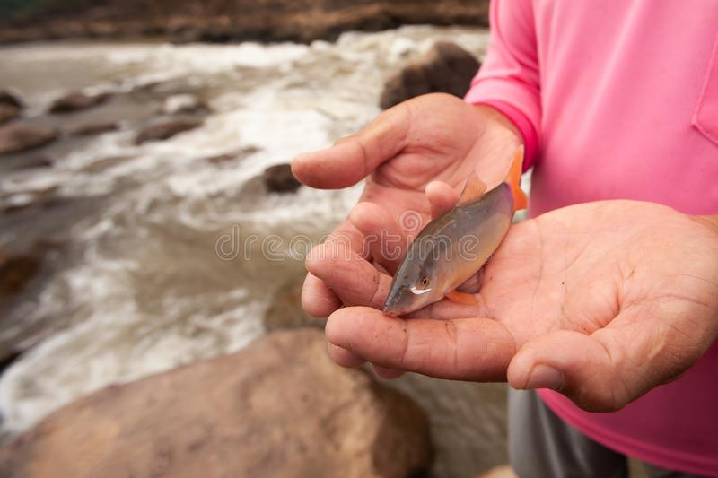 Botia or Loach in fisherman hands, beauty barbel or canine tooth near the mouth. Freshwater fish. Local fishing at Nan River,. North Thailand. Rapids stock photos