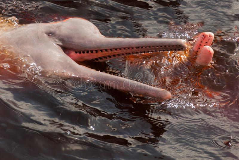 Boto Amazon River Dolphin. Amazon river, Amazonas, Brazil stock images