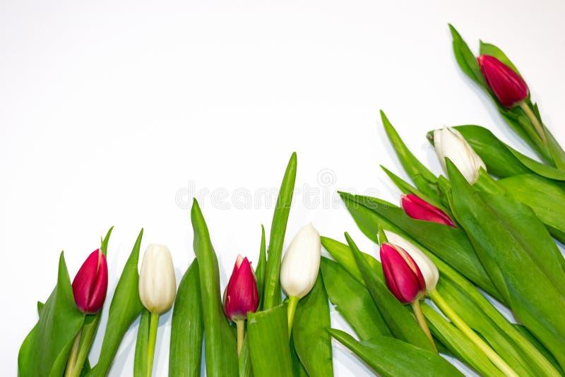 Botones rojos y blancos del primer del tulipán en el fondo blanco Concepto de regalo, frescura, el día de tarjeta del día de San  imagen de archivo libre de regalías