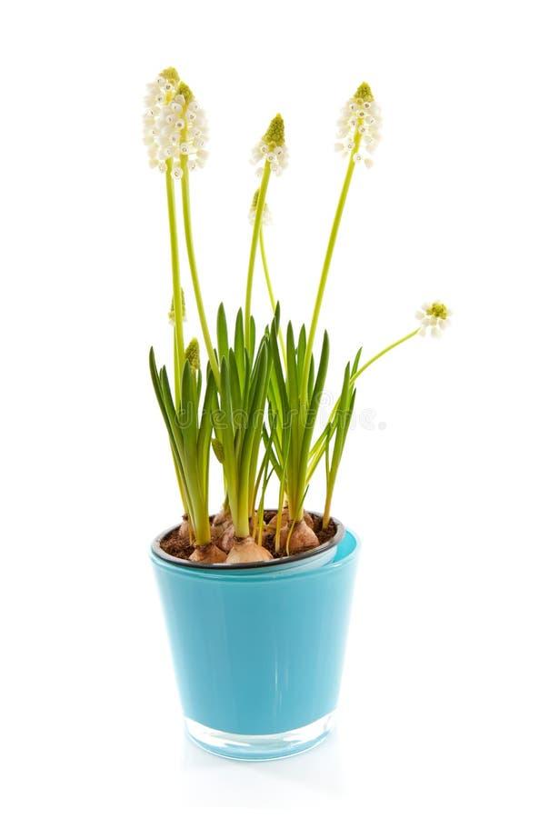 botryoides blommar isolerad magisk muscariwhite fotografering för bildbyråer