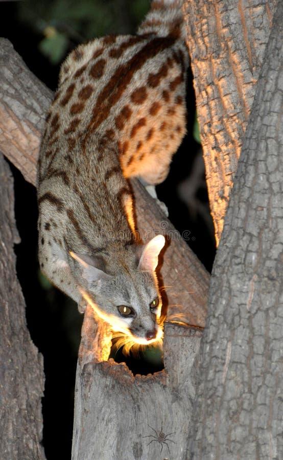 Botswana: Afrikansk vildkatt, nattligt djur, hotade arter royaltyfri bild
