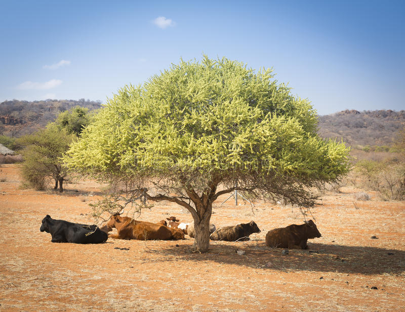 Botswana Beef Cattle. Resting under a tree in rural Botswana, Africa stock photo