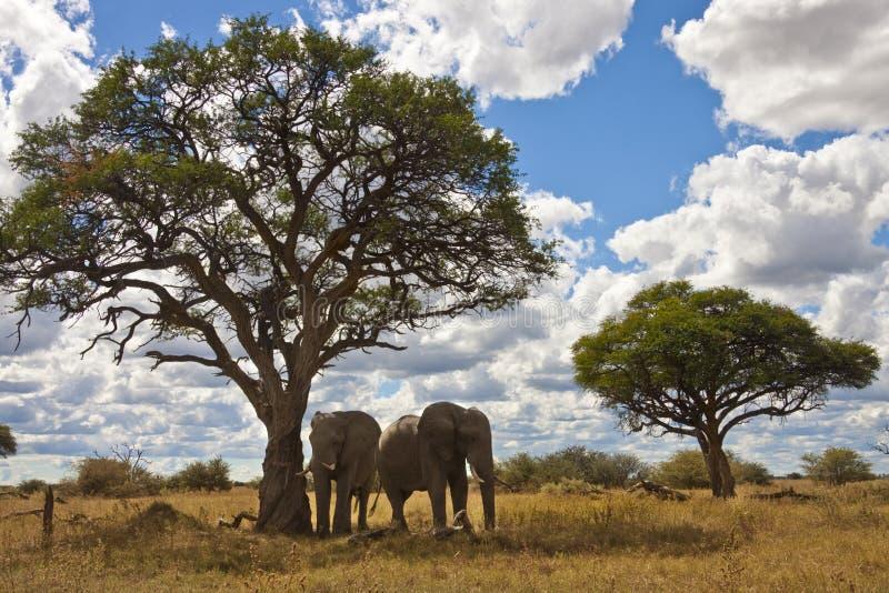 botswana elefanter två arkivbilder