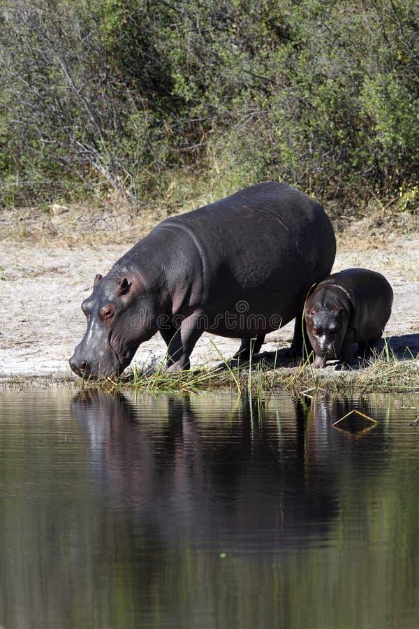 botswana hipopotam obrazy stock