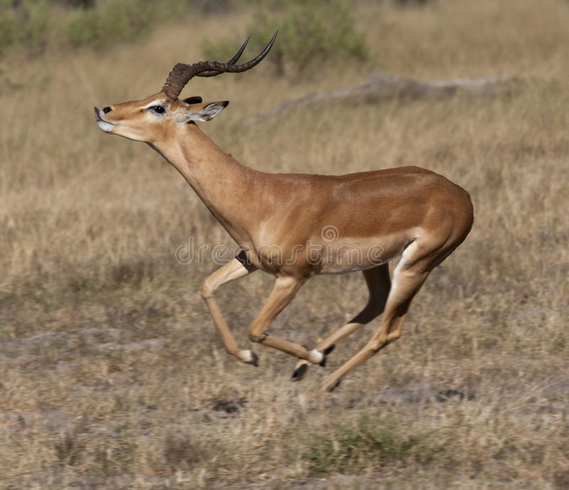 botswana impalarunning royaltyfria bilder