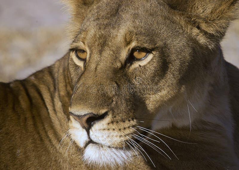 Botswana Queen. Adult lioness at close quarters , Savuti , Botswana royalty free stock image