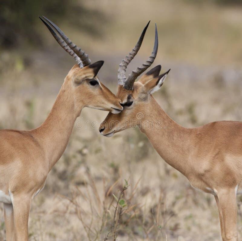 Botswana - Two Male Impala Stock Photography
