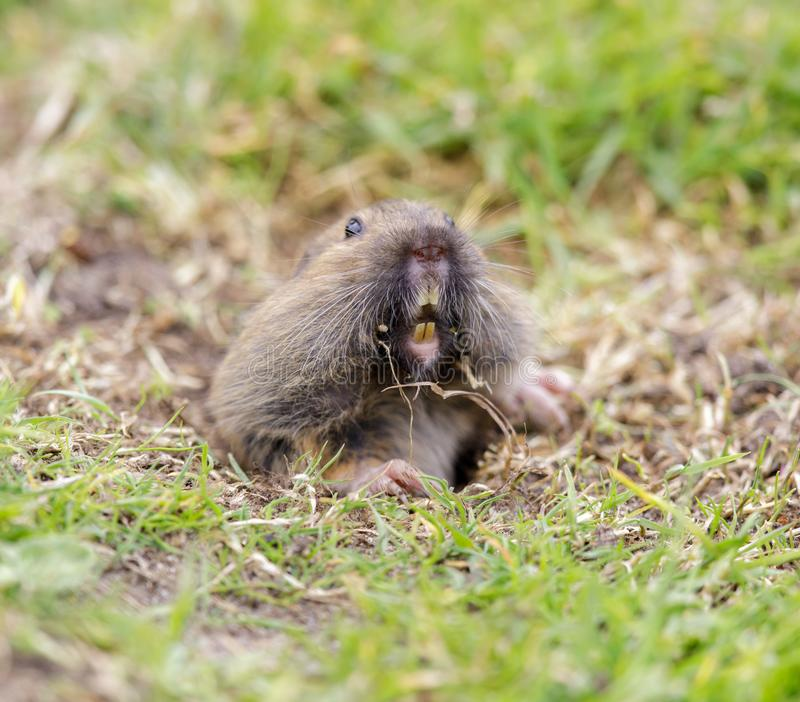 Bottae do Thomomys do Gopher de bolso do vale que emergem da toca fotos de stock royalty free