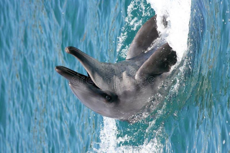 Bottenose Delphin lizenzfreie stockfotos
