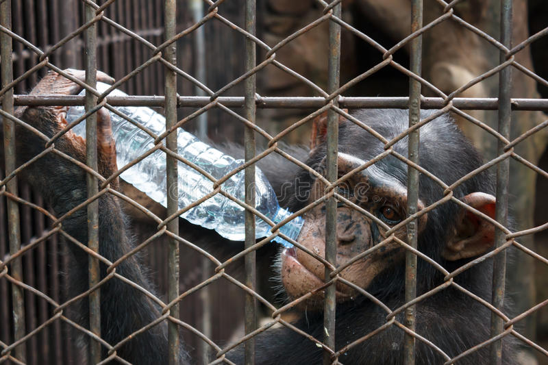 Bottiglia bevente dello scimpanzè di acqua in gabbia fotografia stock