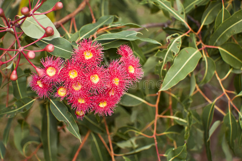Download Bottle brush stock photo. Image of close, native, flower - 23022144