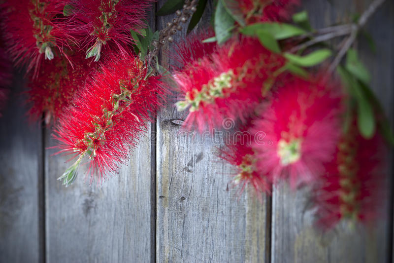 Bottle Brush Flowers Wood Background royalty free stock photos
