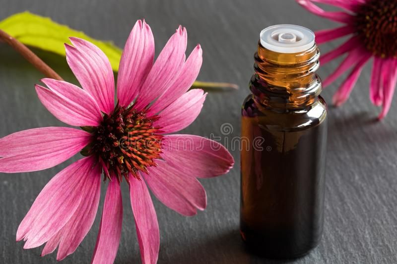 A bottle of echinacea essential oil with fresh echinacea flowers stock photo