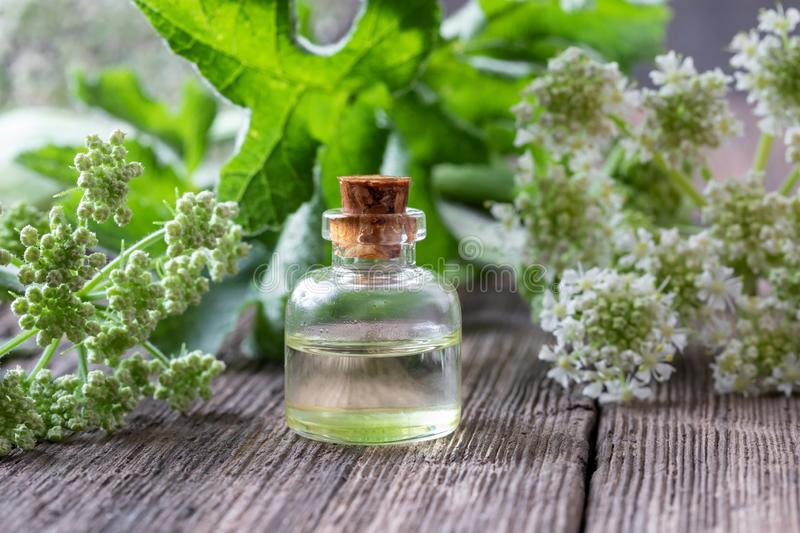 A bottle of essential oil with blooming angelica plant. A bottle of essential oil with fresh blooming Angelica archangelica plant royalty free stock images