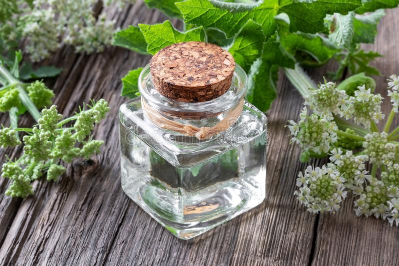 A bottle of essential oil with blooming angelica plant. A bottle of essential oil with fresh blooming Angelica archangelica plant on a table royalty free stock image