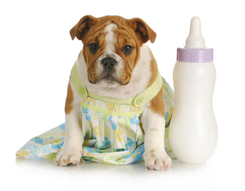 Bottle feeding young puppy stock photo