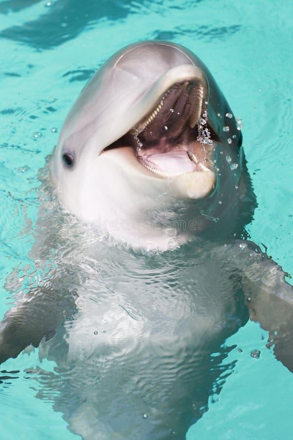 Bottle-nose dolphin royalty free stock photos