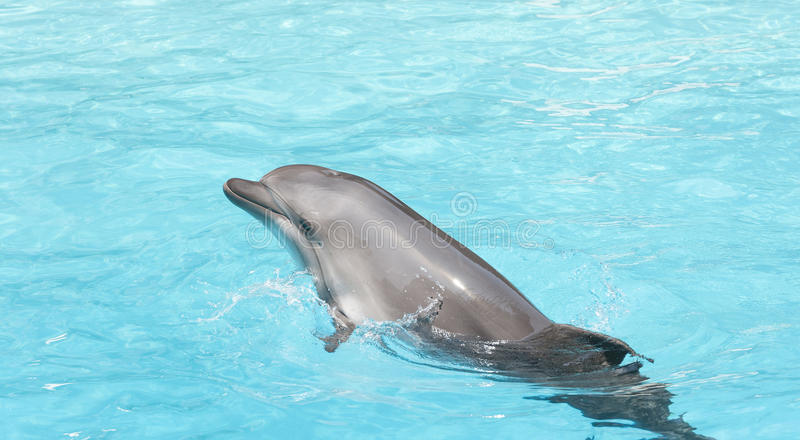 Bottle nose dolphin stock image