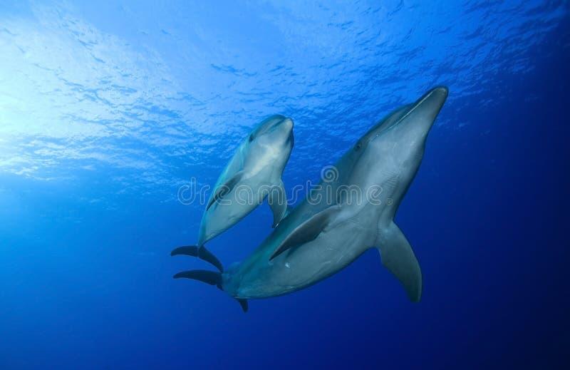 BOTTLE NOSE DOLPHIN / tursiops truncatus royalty free stock photo