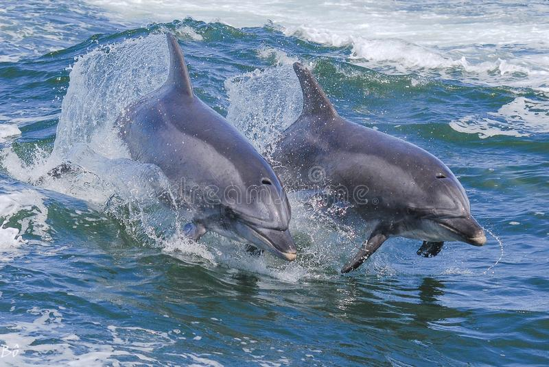 Bottle nose dolphin. Two bottle nose dolphins in walvis bay Namibia royalty free stock photo