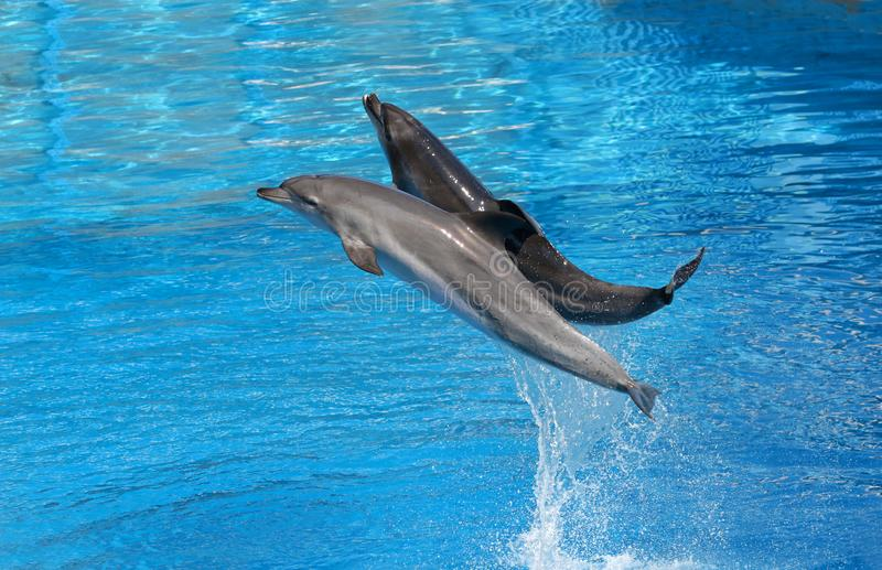 Bottle nosed dolphin performing jumps, blue water background royalty free stock photo