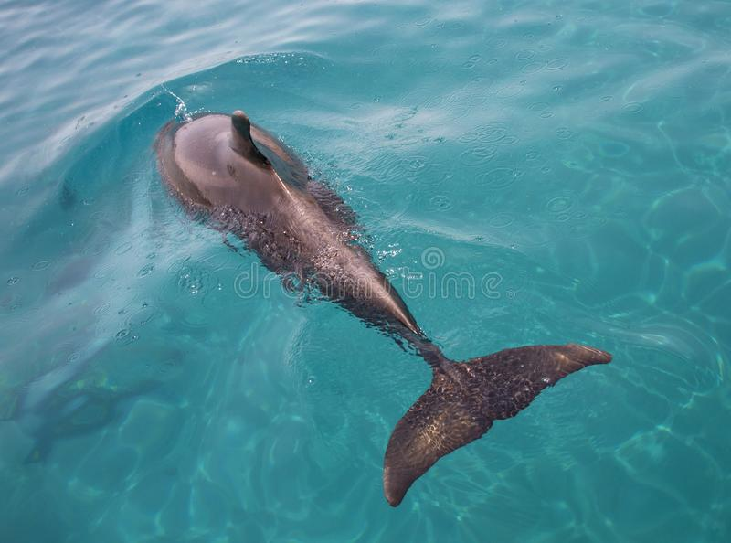 Bottle-nosed Dolphin swimming stock images