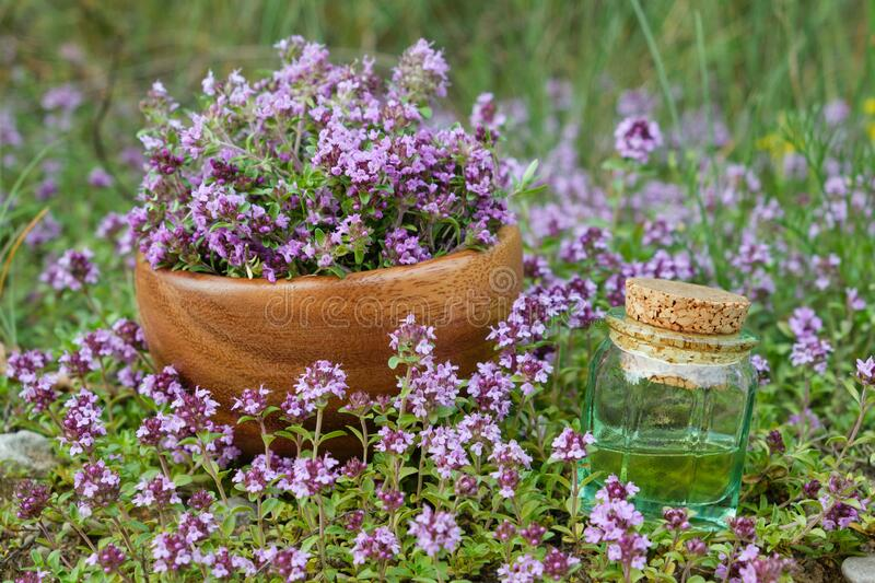 Bottle of thyme essential oil and wooden mortar filled with thymus serpyllum flowers on meadow outdoors. royalty free stock images