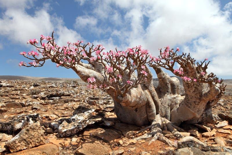 Bottle tree in bloom. Adenium obesum - endemic tree of Socotra Island stock photo