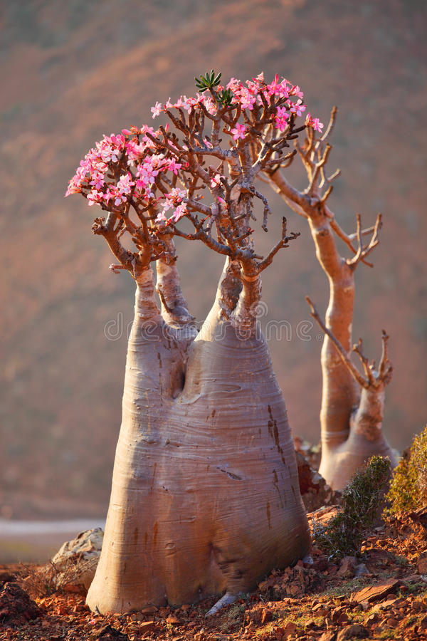 Bottle tree, Socotra stock image