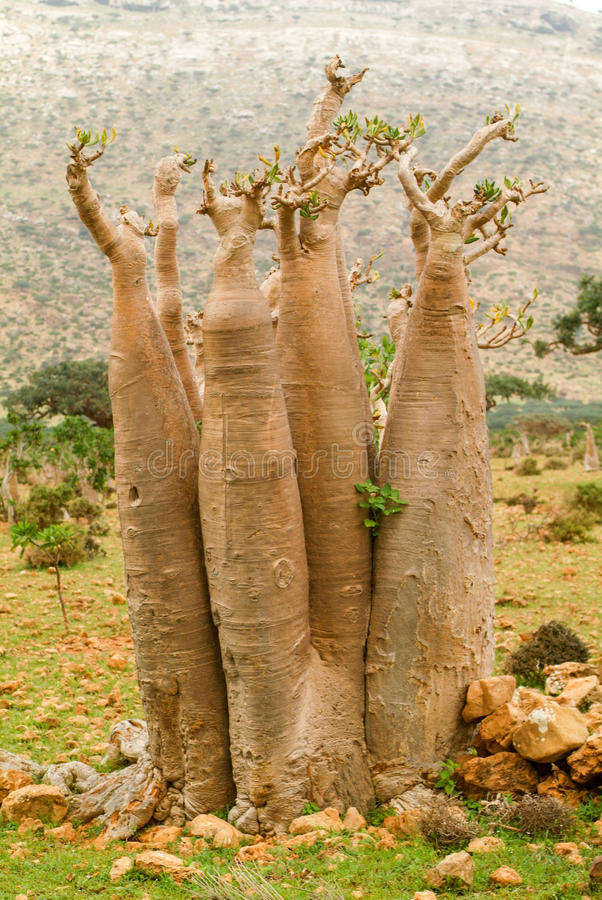 Bottle treesBaobab at the island of Socotra. Bottle trees Baobab at the island of Socotra, Yemen stock images