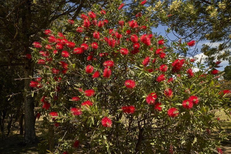 Bottlebrush blüht um die Parks in Wentworth Falls, New South Wales, Australien stockfoto