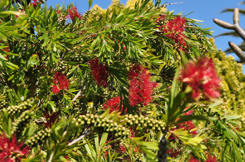 Bottlebrush flower plant tree and seeds Callistemon and belong to the family Myrtaceae stock photos