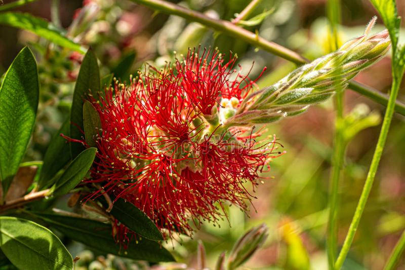 Bottlebrush in full flower. A native of Australia, the Bottlebrush has settled well in England and it`s fiery red and gold flower brightens up many gardens stock images