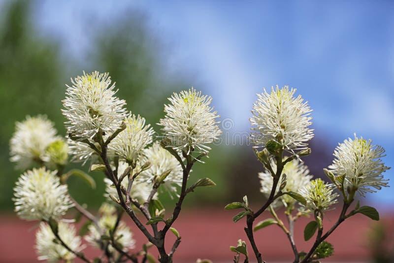 Bottlebrush kwiatu krzak zdjęcia royalty free