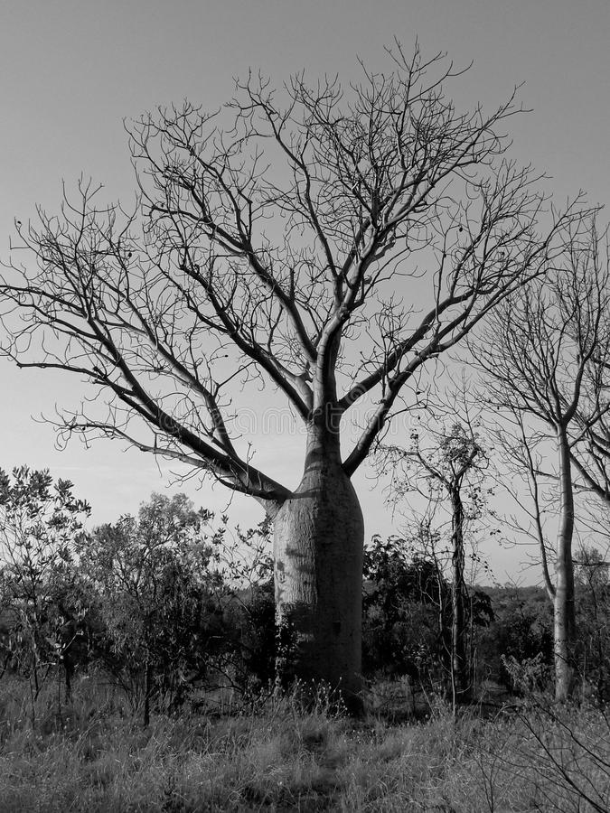 A Bottled Boab Tree In Black And White. A boab Adansonia gregorii tree,in B&W, amongst the vegetation against a clear sky in northern Australia royalty free stock photography