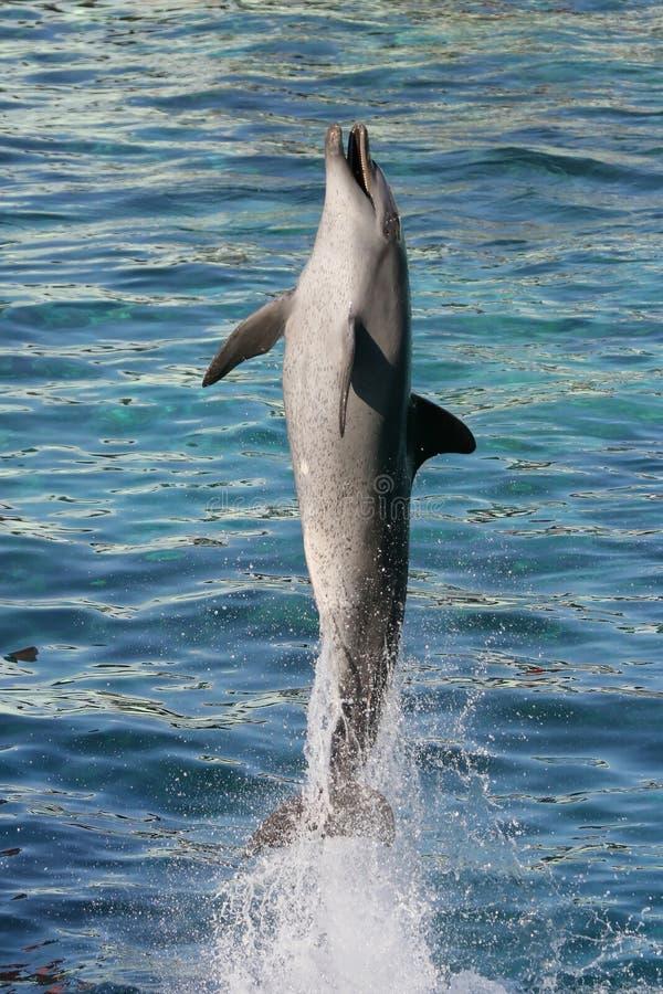 Bottlenose de dauphin photo libre de droits