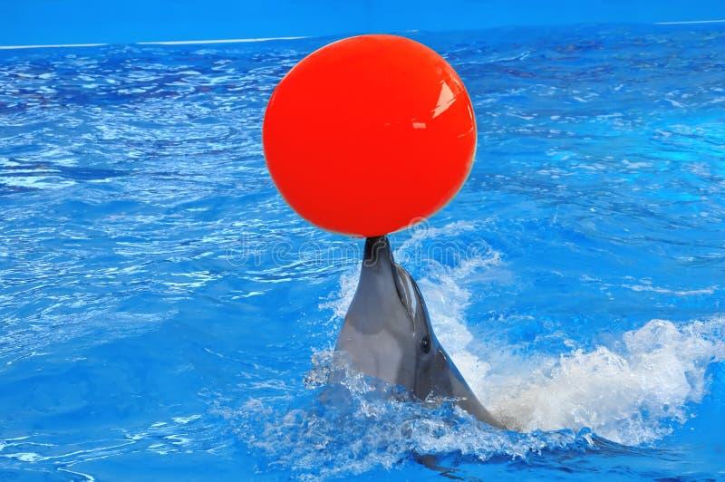 Bottlenose delfin w błękitne wody z czerwoną piłką obraz stock