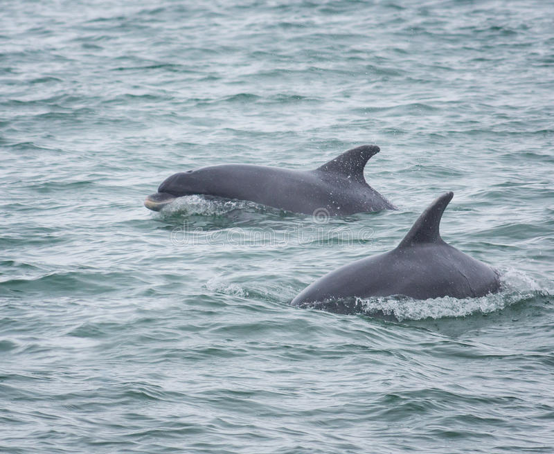Bottlenose delfinu delfiny zdjęcie royalty free
