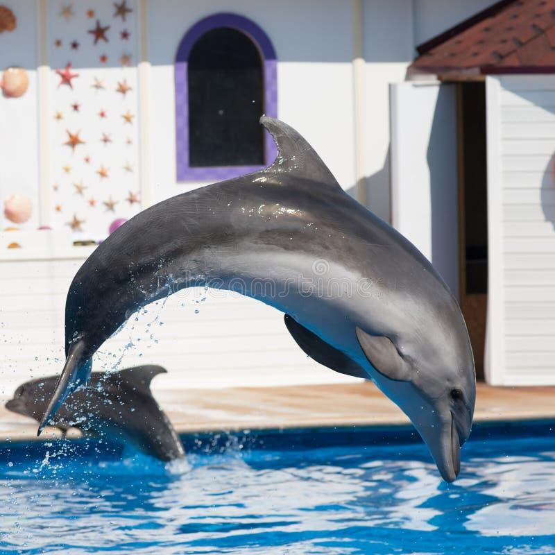 Bottlenose delfinu doskakiwanie w dennym basenie obraz stock