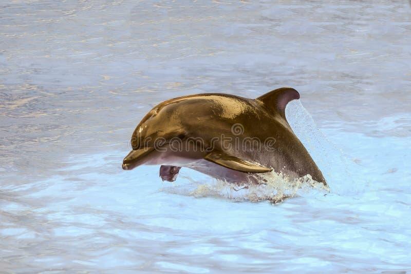 Bottlenose delfinu doskakiwanie w jaskrawej błękitne wody i dopłynięcie obraz stock