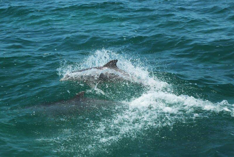 Bottlenose delfiny fotografia royalty free