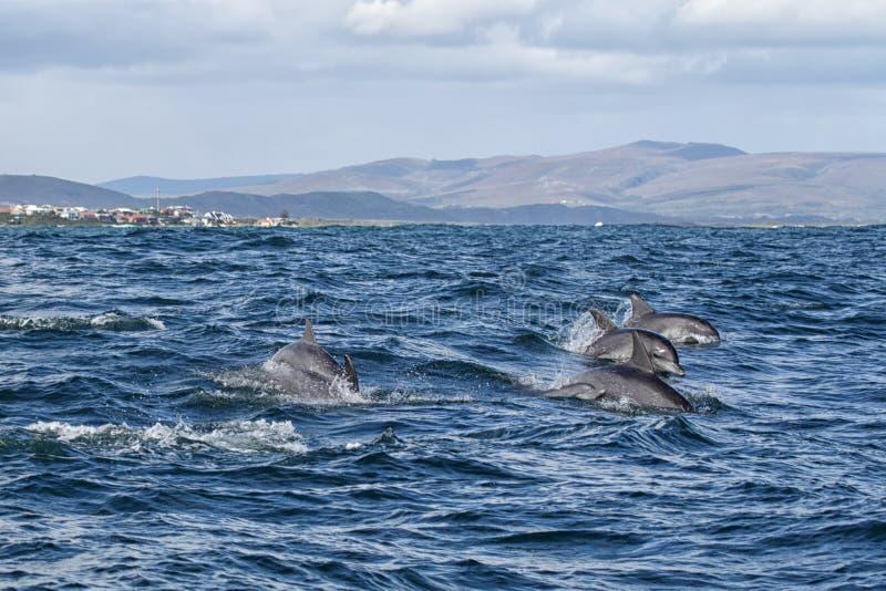 Bottlenose-Delphin (Tursiops aduncus) stockfoto