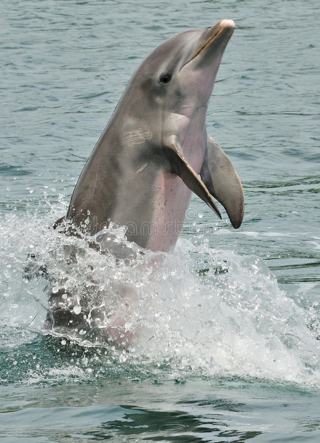 Bottlenose dolphin. Side view of bottlenose dolphin performing trick and breaching water stock images