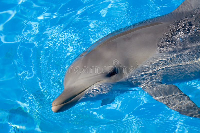 Bottlenose Dolphin royalty free stock photos