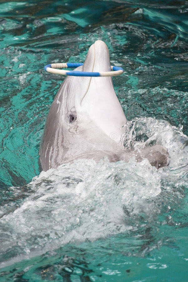 Download Bottlenose dolphin stock photo. Image of marine, play - 7208482