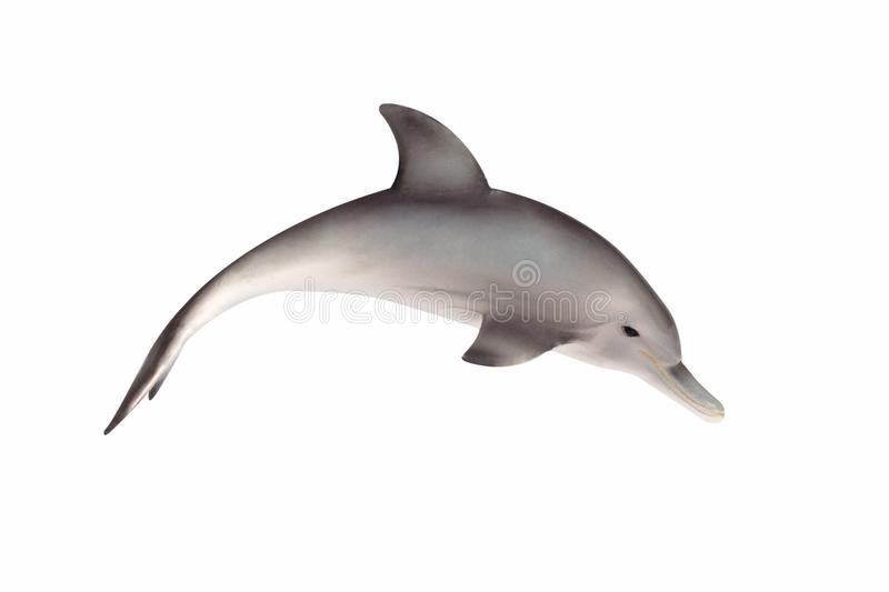 Bottlenose Dolphin. Isolated on white royalty free stock images