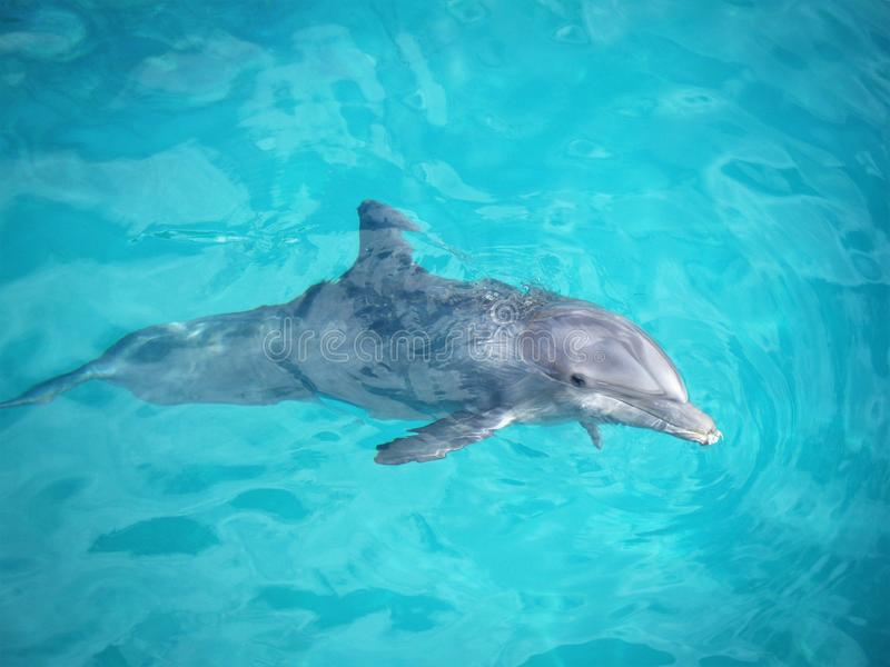 Bottlenose Dolphin in a Dolphinarium. Dolphin is a common name of aquatic mammals within the order Cetacea, arbitrarily excluding whales and porpoises royalty free stock photo