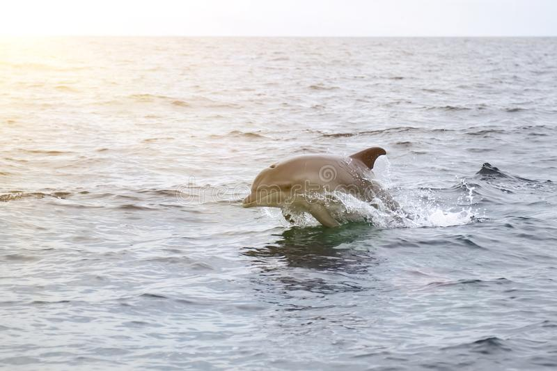 bottlenose dolphin in its natural habitat. representative of whale floating in sea royalty free stock photos