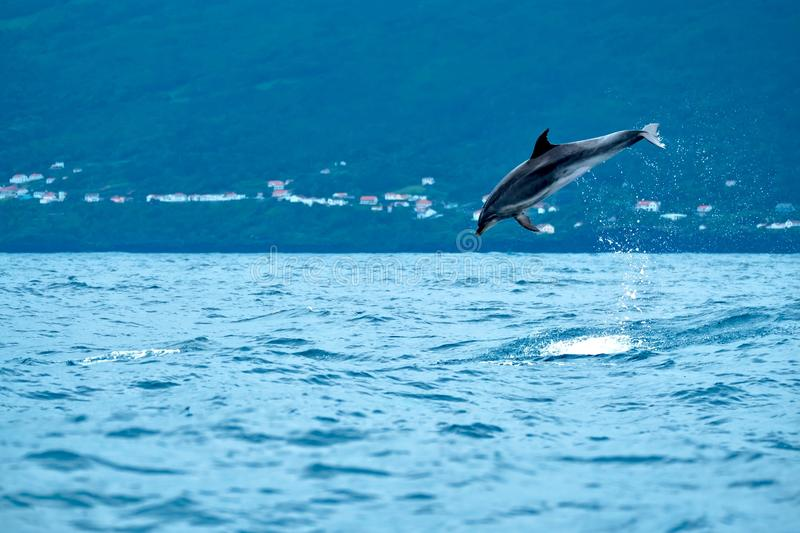 Bottlenose dolphin leaping high in the air stock photography
