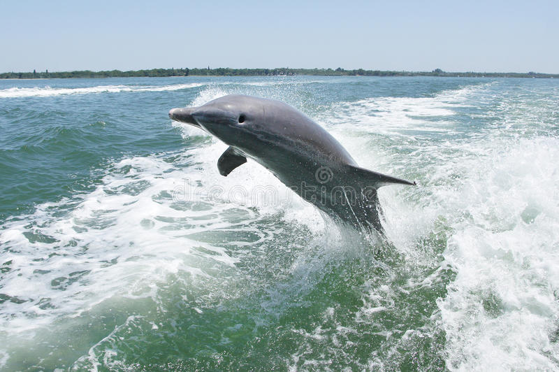 Bottlenose Dolphin Leaping Out Of Water stock photography